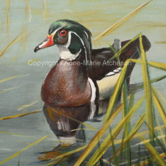 Wood Duck in Rushes Print